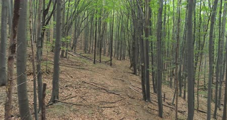 beech tree : Camera moves among trees in forest. Flight through the green forest Stock Footage