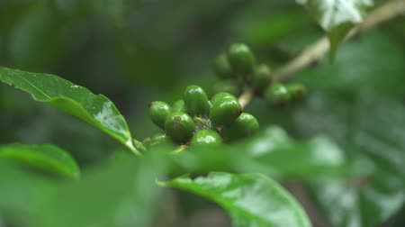 ripen : coffee beans on the coffee plant. Coffee bush Stock Footage