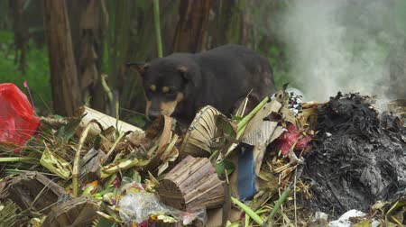 zbloudilý : Stray dog eats from trash. Burning rubbish, Asia