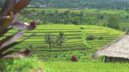 slider shot : Slider shot of rice field. Dolly shot Asian landscape. Jatiluwih Bali, Indonesia