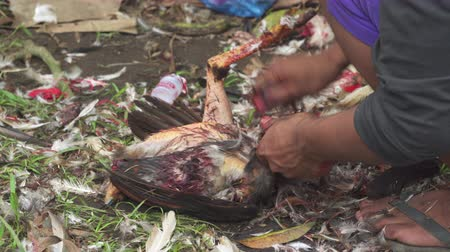 cock fights : Plucking chicken after cock fight - Bali