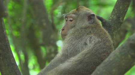 monkey : Monkey sits on the tree. Crab eating macaque, Bali, Indonesia Stock Footage