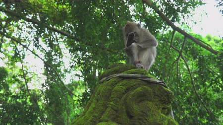 cradle : Monkey sits on the sculpture. Crab eating macaque, Bali, Indonesia
