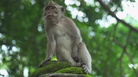 crab eating macaque : Monkey sits on the tree. Crab eating macaque, Bali, Indonesia Stock Footage