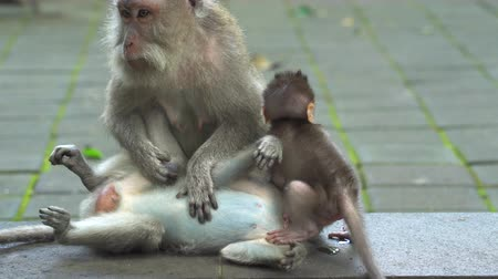 crab eating macaque : Baby monkey, monkey family. Crab eating macaque family, Bali, Indonesia Stock Footage