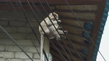 cradle : Monkey seats on the electric wire. Crab eating macaque family, Bali, Indonesia