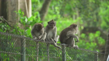 crab eating macaque : Monkeys seats on the fence. Crab eating macaque family, Bali, Indonesia