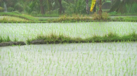 monção : Tropical heavy rain in the rice field Vídeos
