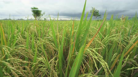 slider shot : Ears of rice in the rice field. Slider shot Stock Footage