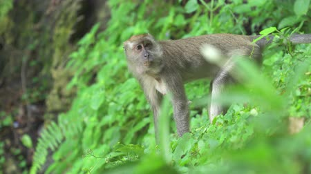 crab eating macaque : Crab-eating Macaque monkeys eating in the wild. Batu Caves Kuala Lumpur