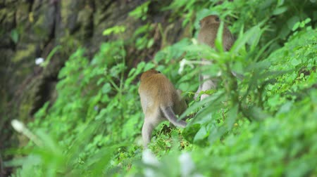 crab of the woods : Crab-eating Macaque monkeys in the wild. Batu Caves Kuala Lumpur, Malaysia
