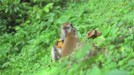crab eating macaque : Crab-eating Macaque monkeys eating trash. Batu Caves Kuala Lumpur, Malaysia Stock Footage