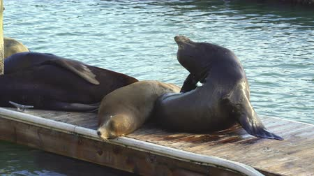 túmulo : Sea Lions in Pier 39 - San Francisco, California