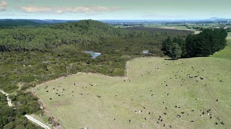 drove : aerial of herd of cows grazing on pasture - New Zealand