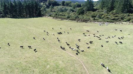 drove : flight over of herd of cows grazing on pasture - New Zealand Stock Footage