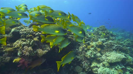 biodiverzitás : School of colorful tropical fish. Black spotted sweetlips in the Red Sea Stock mozgókép