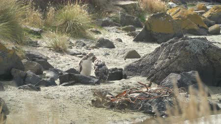 extinct species : Moulting yellow eyed penguins in New Zealand Stock Footage