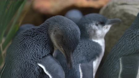 extinct species : Little penguins close up - Australia