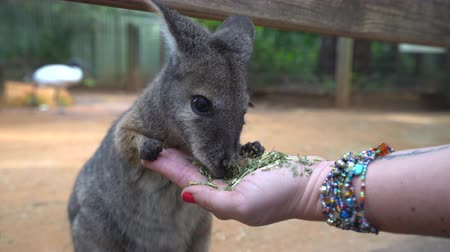 wallaby : Small Kangaroo eating from hand - Brush tailed rock wallaby Stock Footage