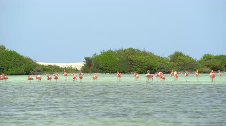 salt marsh : Flock of pink flamingo birds - Bonaire, salt pond