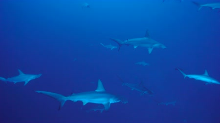 hammerhead : School of Hammerhead sharks Stock Footage