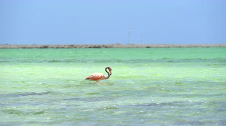 salt marsh : Pink flamingo bird - Bonaire, salt pond