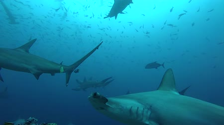 hammerhead : School of hammerhead sharks in the cleaning station - underwater shot