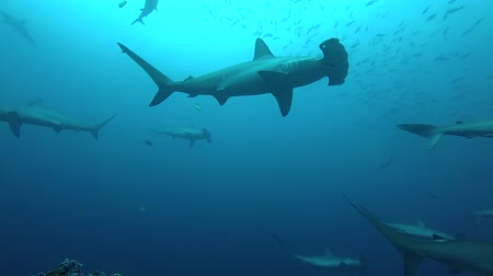 shark : School of hammerhead sharks swimming in the blue - underwater shot