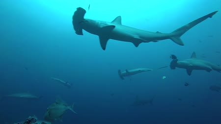 hammerhead : School of hammerhead sharks swimming in the blue - underwater shot