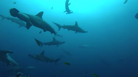 school of shark : School of hammerhead sharks swimming in the blue - underwater shot