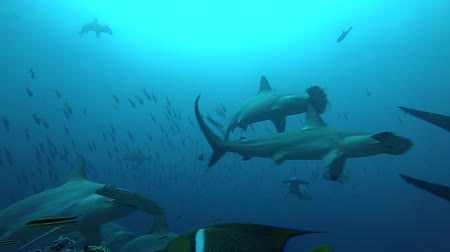 rekin : School of hammerhead sharks swimming in the blue - underwater shot