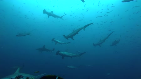 lots of : School of hammerhead sharks swimming in the blue - underwater shot
