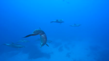 общий : Bottle nose dolphins, underwater shot - Pacific Ocean, Roca Partida Стоковые видеозаписи