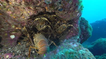 reserva : Lot of lobster in a hole - Underwater shot