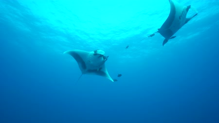 pacífico : Giant manta rays swimming in the blue - Socorro, San Benedict island Vídeos