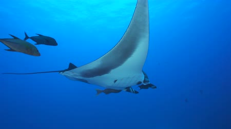 еж : Giant manta ray swimming in the blue - Socorro, San Benedict island Стоковые видеозаписи