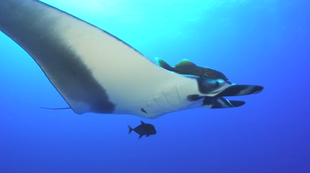fish eye : Giant manta ray swimming at sunlight - Socorro, San Benedict island Stock Footage