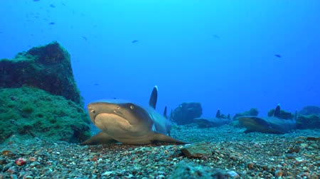 school of shark : Lying whitetip reef shark on seafloor - Socorro island Stock Footage