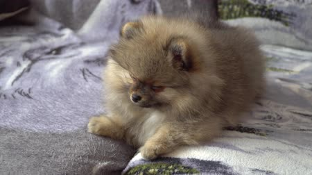 tame animal : Lovely and beautiful and cute Pomeranian Puppy Stock Footage
