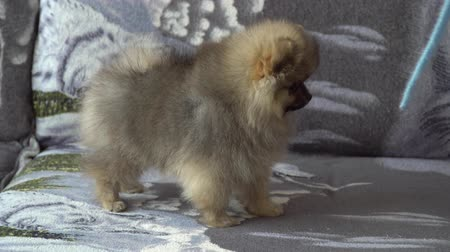 tame animal : Lovely, beautiful and cute Pomeranian Puppy Stock Footage