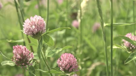 pratensis : Trifolium pratensis, red clover in Japan