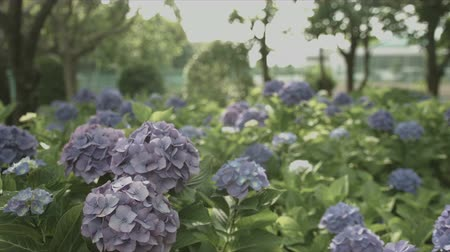 hortensia : Purple hydrangea in Sagamihara park, non color grade, in Japan-purple hydrangea Japan color grade without
