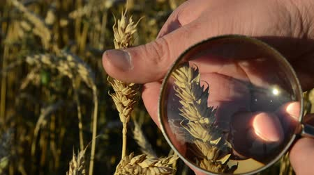 cereais : farmer hand with magnify glass tool closeup check examine inspect wheat ear quality class in agricultural field.