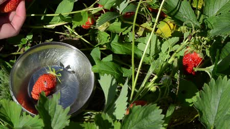 çilek : Female woman gather pick up ripe red strawberries and put in metallic glossy dish. Stok Video