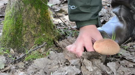 stonky : Man in rubber boots hand pick up gather red cap scaber stalk mushroom grow near mossy tree.