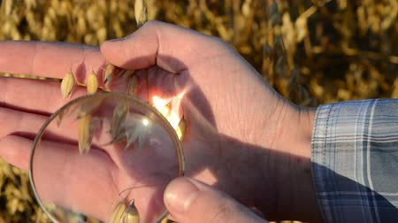 semínko : farmer hand with magnify glass tool closeup check oat ear quality in agricultural field. Dostupné videozáznamy
