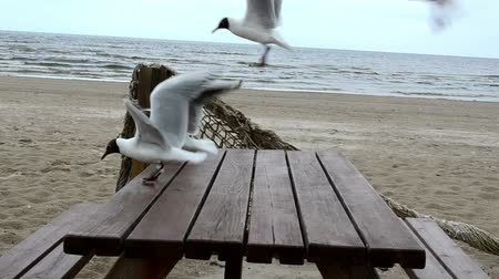 racek : Hungry seagull gull fight for food on wooden table in background of sea.