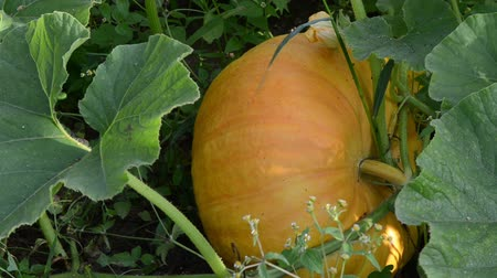 dynia : pumpkins vegetable fruit and leaves grow in rural garden.