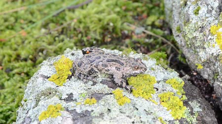 amphibia : european fire-bellied fire bellied toad frog bombina amphibia with red orange belly walk on mossy stone.