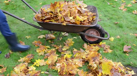 munkaeszközként : blond worker woman hands in gloves load barrow cart with colorful autumn leaves in garden and carry it away. Stock mozgókép